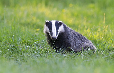 European Badger coming out of its set at spring, GB