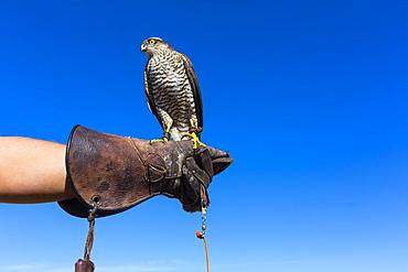 Eurasian Sparrowhawk on falconer glove, Burgos Spain