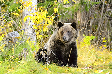 Grizzly sitting in a clearing, Chilcotin Mountains Canada