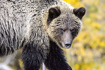 Portrait of Grizzly, Chilcotin Mountains Canada