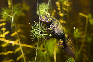 Female marbled newt in a pond, France