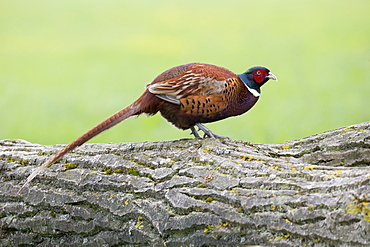Male Pheasant a fallen tree at spring, GB