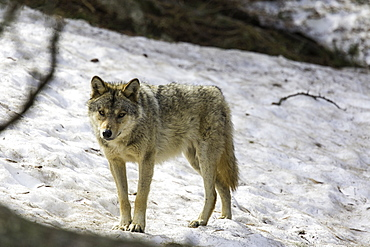 European wolf in the snow, Pyrenees France