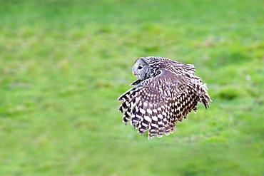 Ural Owl in flight, Sologne France
