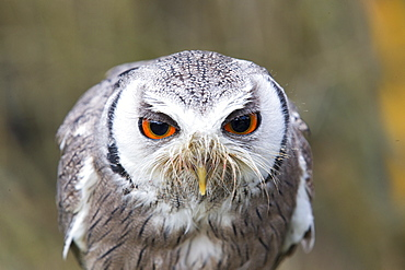 Portrait of  White-faced Scops Owl , Sologne France