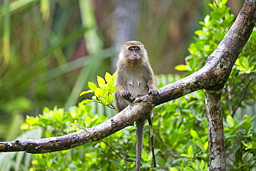 Long-tailed macaque on a branch in forest, Bako Malaysia