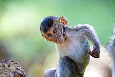 Young Long-tailed macaque scratching- Bako Malaysia