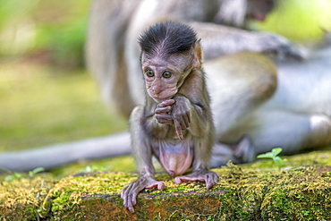 Young Long-tailed macaque male, Bako Malaysia