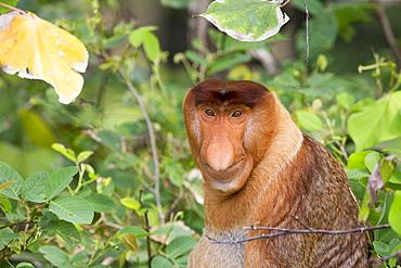 Portrait of Proboscis monkey in forest -Malaysia Bako
