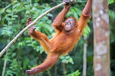 Borneo orangutan hanging from a brance, Malaysia