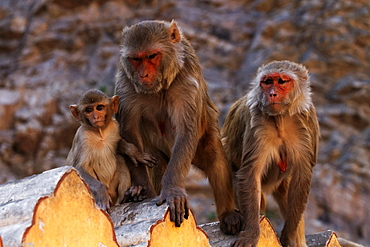 Rhesus macaques on wall, Galta Temple Rajasthan India