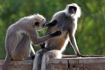 Hanuman Langurs grooming on a wall, Rajasthan India