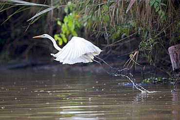 Intermediate egret in flight over water, Malaysia