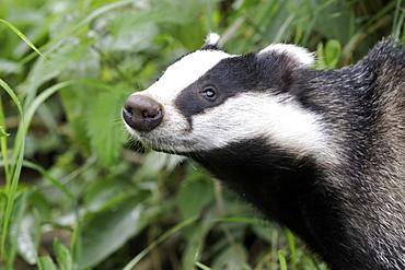 Portrait of Eurasian Badger, UK