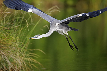 Grey Heron in flight, Midlands UK