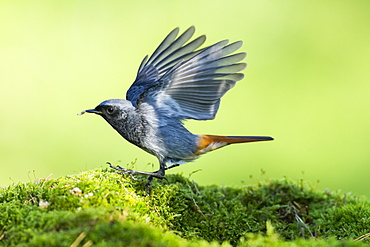 Male Black Redstart flapping on moss, France