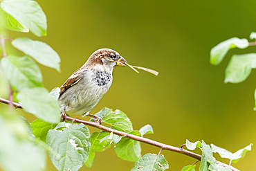 House Sparrow and twigs to the nest, Alsace France