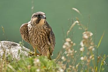 Peregrine Falcon juvenile on rock, Denmark
