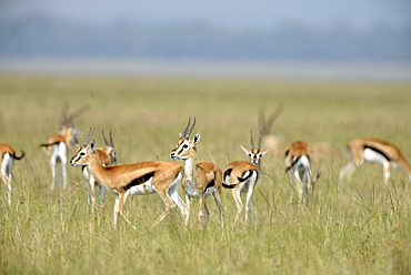 Thomson's gazelles in the savannah, Masai Mara Kenya