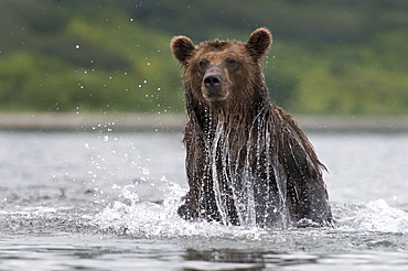 Brown Bear fishing on water, Kuril Lake Kamchatka Russia