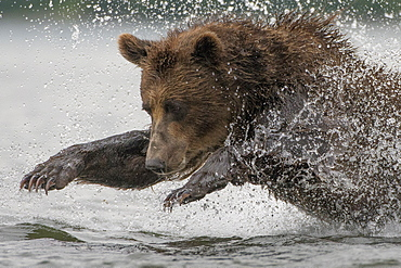 Brown Bear fishing a Salmon, Kuril Lake Kamchatka Russia