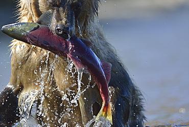 Brown Bear catching a Salmon, Kuril Lake Kamchatka Russia
