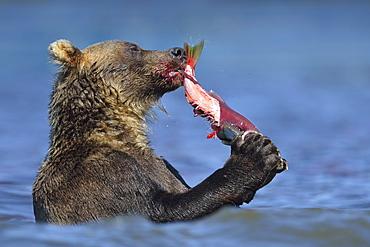 Brown Bear eating a Salmon, Kuril Lake Kamchatka Russia