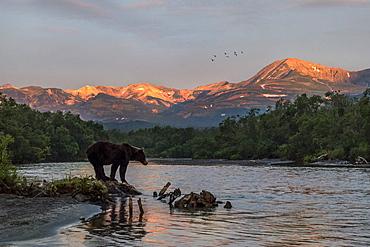 Brown Bear on bank at dawn, Kuril Lake Kamchatka Russia