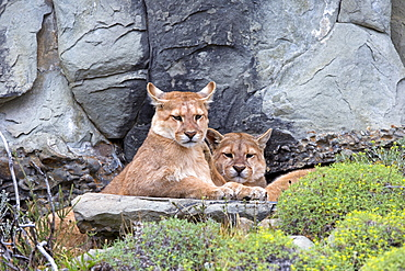 Pumas lying in the scrub, Torres del Paine Chile