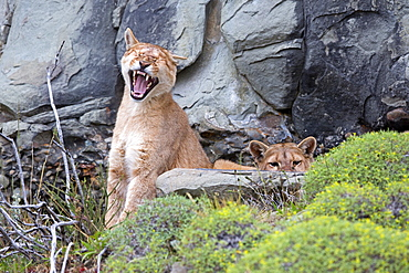 Pumas at rest in the scrub, Torres del Paine Chile