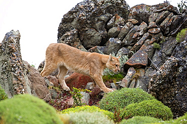 Puma walking in the scrub, Torres del Paine Chile