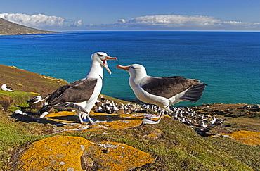 Black-browded albatros mating game, Falklands Islands