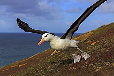 Black-browded albatros taking off, Falkland Islands