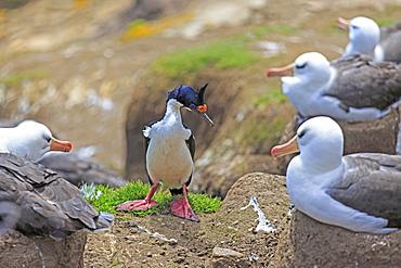 Imperial shag and Black-browded albatros, Falkland Islands