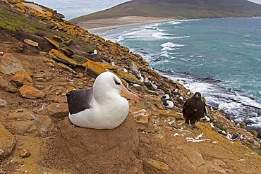 Striated caracara and Black-browded albatros -Falkland Isl.