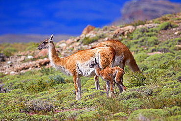 Guanaco and young in the steppe, Torres del Paine Chile