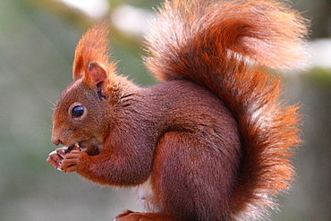 Eurasian Red Squirrel eating, France