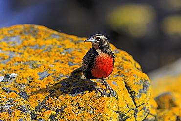 Long-tailed meadowlark on a rock, Falkland Islands