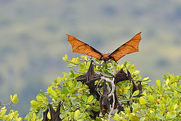 Black flying fox, Komodo National Park
