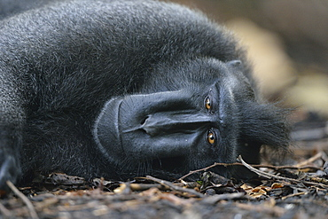 Celebes crested macaque, Indonesia