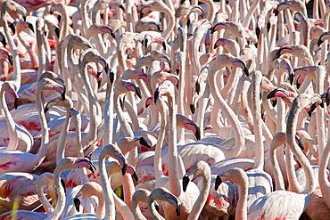 Flamingos, Pond Ca Sigean African Reserve France
