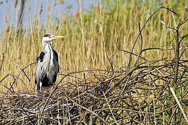 Grey Heron nest, Moldova Nad Bodvou Slovakia