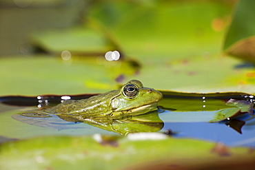 Lowland frog in water, France