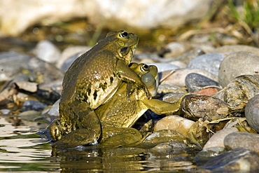 Lowland frogs mating on bank, France