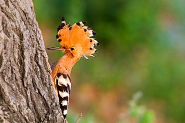 Eurasian Hoopoe male on a trunk, France