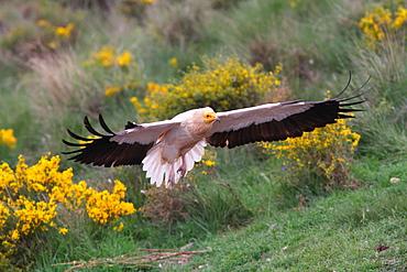 Egyptian Vulture landing, Spain