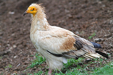 Egyptian Vulture on ground, Spain