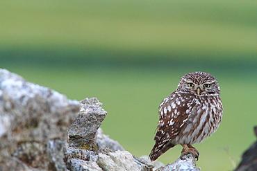 Little Owl on rock, Spain