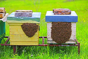 Colonized hives occupied by swarms, Abruzzo Italy