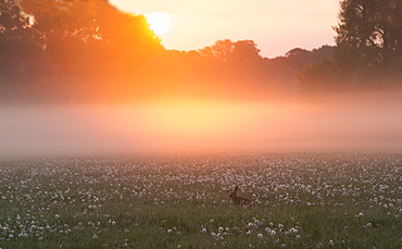 Brown Hare in a meadow in the mist at sunrise at spring GB